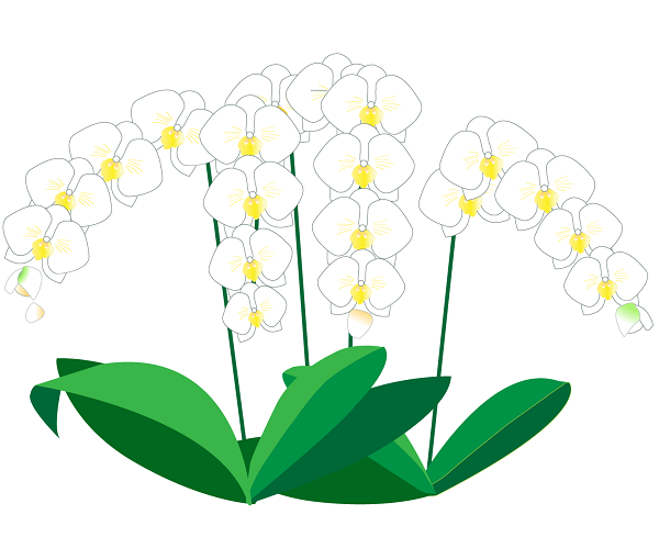 胡蝶蘭値段白-2イラスト600。胡蝶蘭値段、開店祝い、開業祝い、就任祝い、移転祝い、当選祝い、還暦のお祝い、新築祝い本立て、5本立て、3本、胡蝶蘭値段違い、胡蝶蘭値段高い