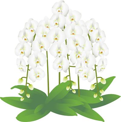 胡蝶蘭値段白イラスト2-400胡蝶蘭,値段,安い,おすすめ,比較,大輪,ミディ,3本,5本,2本,,お祝い,安い,高い,お供え,7本,開店祝い,就任祝い,開業祝い,当選祝い,移転祝い