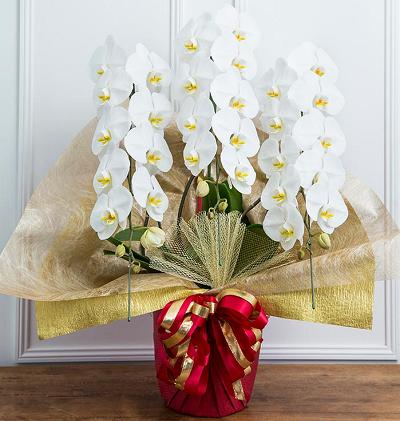 胡蝶蘭はなぜお祝いのお花として使われるのか?胡蝶蘭はなぜ開店お祝い開業お祝い、就任お祝い、移転お祝い、当選お祝い等々、各お祝いのお花としてなぜ使われるのか?簡単にまとめています。ハナプライムグリーンジャングル3本白約33から36輪14000円-正面