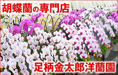 足柄金太郎洋蘭園口コミ1足柄金太郎洋蘭園の胡蝶蘭、その評判、特徴、他社胡蝶蘭通販と比較しての特徴など、足柄金太郎洋蘭園の胡蝶蘭について簡単にまとめています。