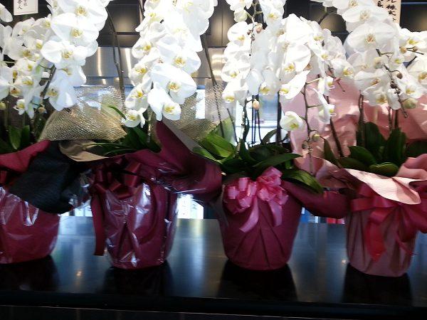 胡蝶蘭値段ラッピング例600-2胡蝶蘭値段、開店祝い、開業祝い、就任祝い、移転祝い、当選祝い、還暦のお祝い、新築祝い本立て、5本立て、3本、胡蝶蘭値段違い、胡蝶蘭値段高い