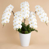 就任祝い胡蝶蘭の値段相場、色など選び方は?