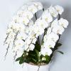 宅配ネット胡蝶蘭では最も豪華と言って良い7本の胡蝶蘭のおすすめランキング。胡蝶蘭7本の値段相場も含めて早わかり、まとめです。グリーンジャングル胡蝶蘭7本80輪以上49000円-400斜め