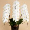 開院祝いのお花、胡蝶蘭ガイド