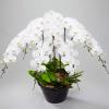 金沢片町に胡蝶蘭を贈るなら【おすすめ版】