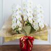 お祝い胡蝶蘭でも一番人気の3本立て胡蝶蘭の値段相場について、又、おすすめの胡蝶蘭通販の売れ筋3本大輪胡蝶蘭をピックアップしてとめています。開店開業祝い、就任祝い、当選祝いなどなど胡蝶蘭3本の値段&3本胡蝶蘭ランキングです。ハナプライムグリーンジャングル3本白約33から36輪14000円-正面