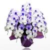 紫の胡蝶蘭は企業店舗イメージに合わせて贈る。